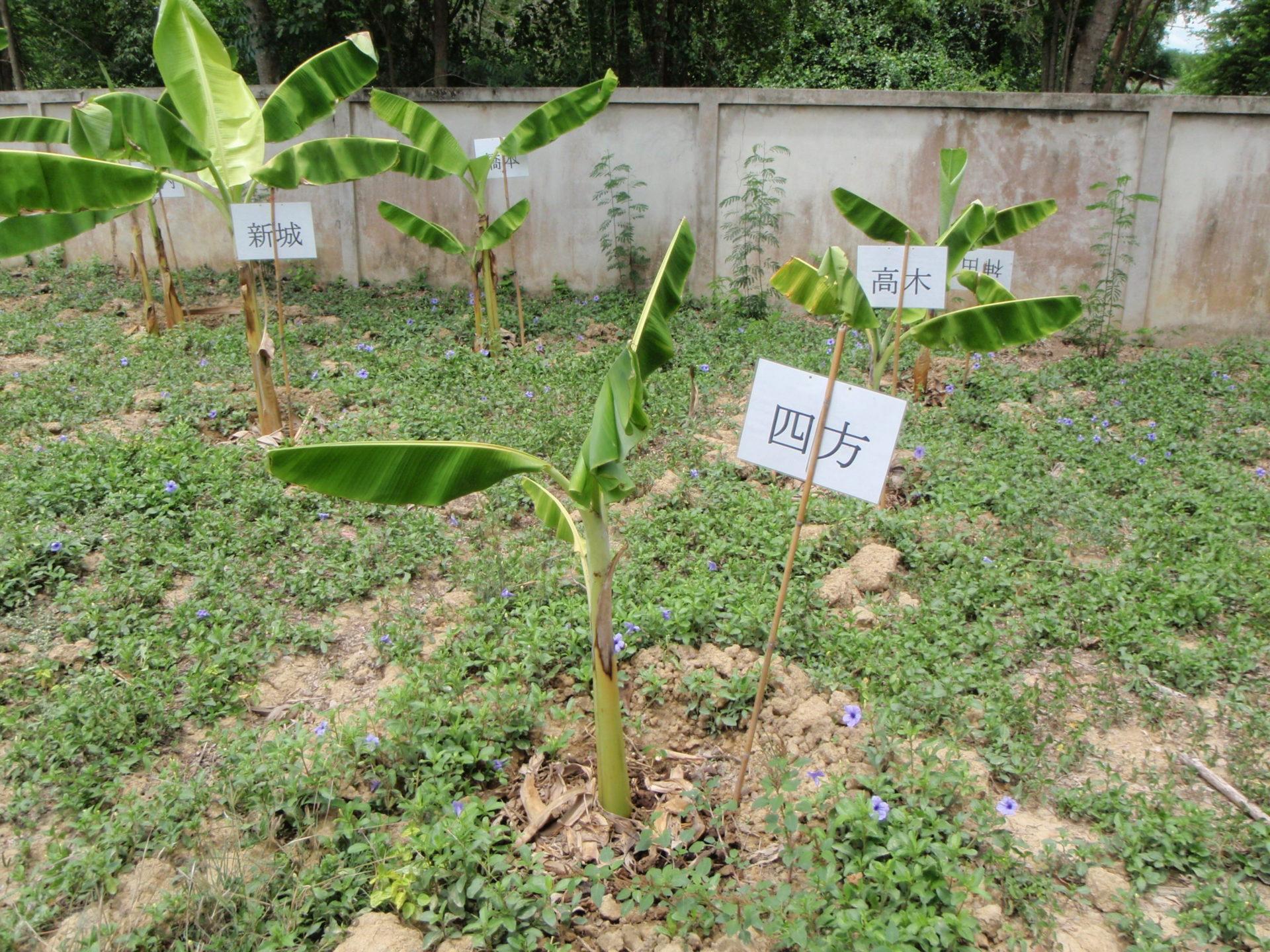 タイでバナナの木の植樹