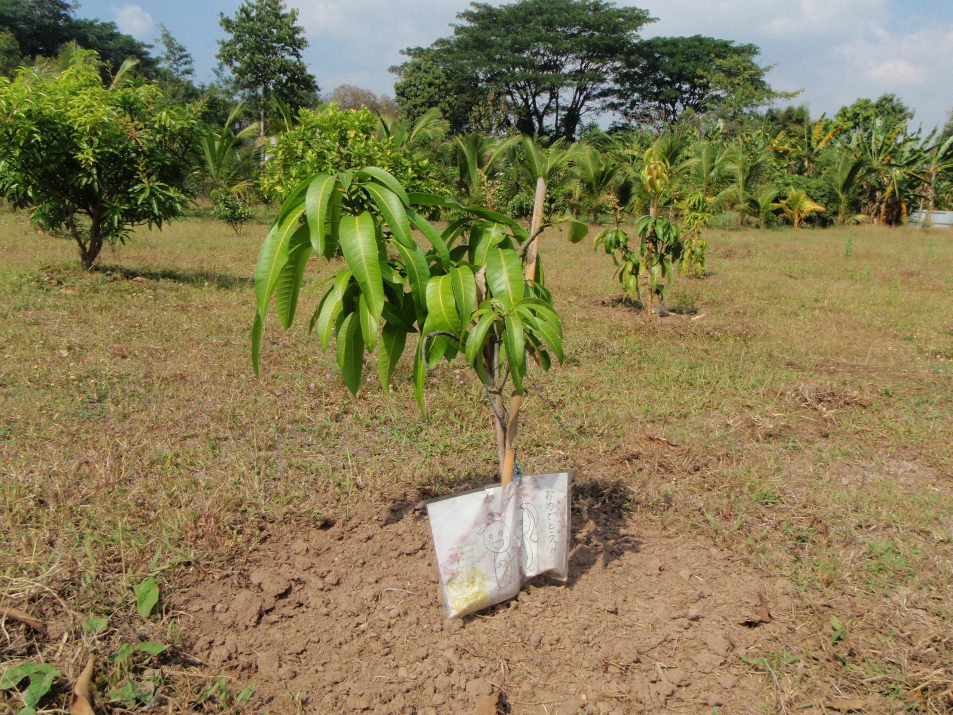 果樹園の敷地にマンゴーを植樹しました